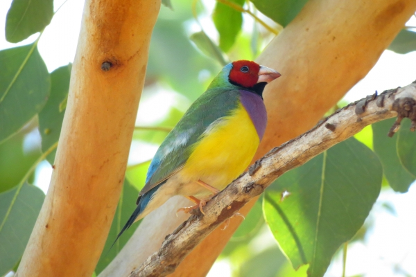 gallery-gouldian-finch-red-face5915B364-0E9C-F1C4-2CA8-2BED5B3E5F66.jpg